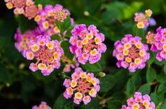 Lantana Camara kwiat fotografia royalty free