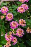 Lantana Camara kwiat zdjęcie royalty free