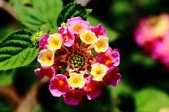 Lantana Camara kwiat Zdjęcia Royalty Free