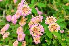 Lantana camara, Linn flowers Royalty Free Stock Photo