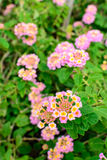 Lantana camara, Linn flowers Stock Images