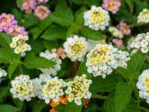Lantana camara, Linn flowers Royalty Free Stock Images