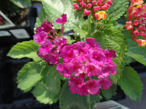 Lantana camara Little Lucky Hot Pink Royalty Free Stock Image