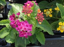 Lantana camara Little Lucky Hot Pink Stock Image