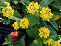 Lantana camara Little Lucky pot of Gold Stock Images