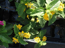 Lantana camara Little Lucky pot of Gold Stock Image