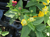 Lantana camara Little Lucky pot of Gold Stock Photo