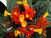 Lantana camara. Orange and yellow flower of Lantana camara stock photos