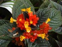 Lantana camara. Orange and yellow flower of Lantana camara stock images