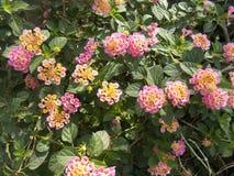 Lantana camara pink flower on the garden. On the morning stock photo