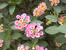 Lantana camara pink sage flowers Royalty Free Stock Images