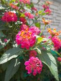 Lantana camara pink or violet flower Stock Photo