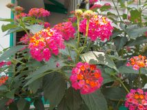 Lantana camara red flower. On tree Stock Photography