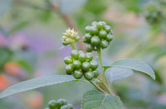 Lantana camara seed Royalty Free Stock Photos