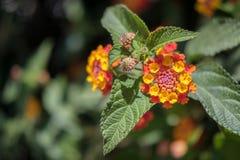 Lantana Camara shrub Royalty Free Stock Photos