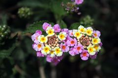 Lantana camara - Two bright light pink flowers with yellow spots in centre on the dark green background stock image