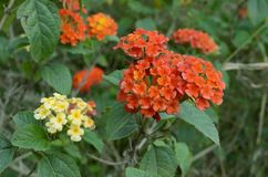 Lantana camara. Umbelanterna known as wild-sage, red-sage is species of flowering plant within the verbena family royalty free stock photo