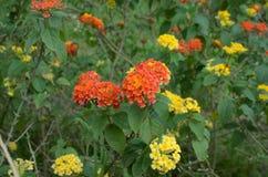 Lantana camara. Umbelanterna known as wild-sage, red-sage is species of flowering plant within the verbena family stock image