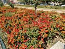 Lantana camara in Valencia`s spring time. Lantana camara in a urban garden from Valencia city in Spain Stock Photography