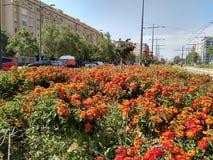 Lantana camara in Valencia`s spring time. Lantana camara  in a urban garden from Valencia city in Spain Stock Images