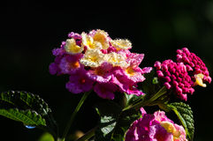 Lantana Stock Photography