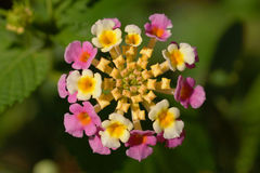 Lantana Confetti Flower Royalty Free Stock Photos