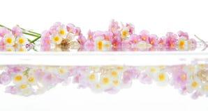 Lantana cor-de-rosa de Caprise Foto de Stock