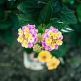 Lantana. A couple of lantanas from above royalty free stock images