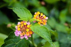 Lantana in der Blüte bei Kilauea stockfotografie