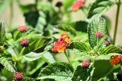 Lantana der Verbenaceaefamilie Stockfotografie