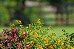 Lantana en nam tuin toe Stock Afbeelding