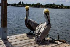 Lantana FL pelikany przy łódkowatą rampą Fotografia Stock
