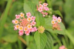 Lantana a flor Imagens de Stock