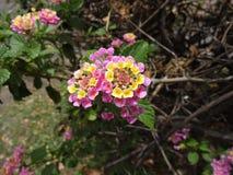 Lantana& x27; flores de s Fotografia de Stock