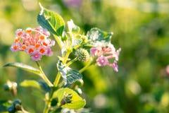 Lantana Flower Royalty Free Stock Image