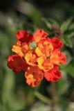 Lantana Flower Royalty Free Stock Photography
