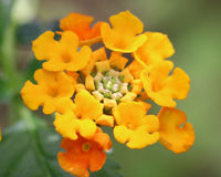 Lantana flower in bloom. A yellow and orange Lantana flower flower in bloom. This species often comes in a multitude of colors and one single flower head can Stock Photo