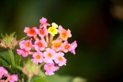 Lantana flower close-up Stock Photos