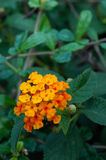 Lantana flower Stock Image