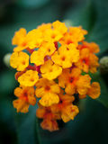 Lantana flower Royalty Free Stock Image