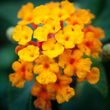 Lantana flower Royalty Free Stock Photos