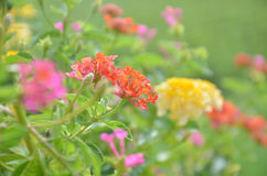 Lantana Flower. Lantana is a genus of about 150 species of perennial flowering plants in the verbena family, Verbenaceae. They are native to tropical regions of royalty free stock photos