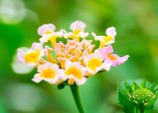Lantana flower Stock Photography