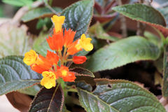 Lantana flower Royalty Free Stock Images