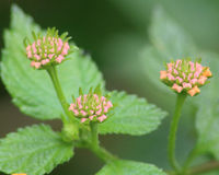 Lantana flowering plant. Three Lantana flower buds that haven't opened yet. These will open up into small individual multi colored flowers on each bud Royalty Free Stock Image