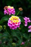 Lantana flowers stock image