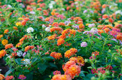 Lantana flowers Royalty Free Stock Photos