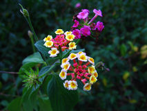Lantana Flowers. This plant is certainly not what it seems. These cute flowers are responsible for a plague of this plant taking over the Australian countryside Royalty Free Stock Photo