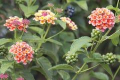 Lantana Flowers and Berries Royalty Free Stock Photo