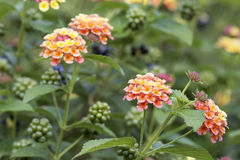 Lantana Flowers and Berries Plant Stock Images